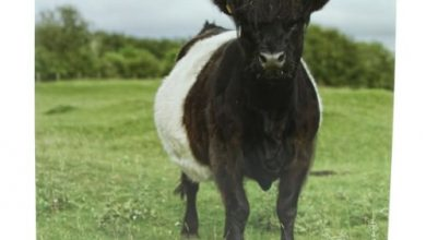 Photo of Belted Galloway Cow Greeting Card with sound