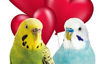 Photo of Budgie's Budgerigar tv44 Fun Cute Valentine' s Day Card A5 Personalised Greeting Card